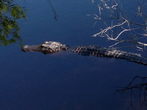 An alligator on one of our hikes through the park