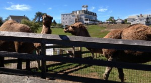 I always imagined the first thing we'd see on Block Island would be... camels?