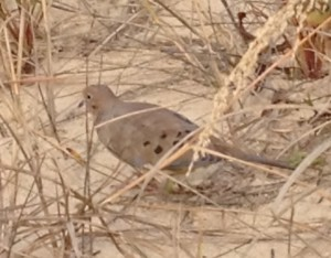 It was fun to see this peaceful dove on the cold Rehoboth Beach. Mike said it posed for him.