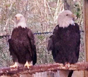 Eagles at Brookgreen Gardens. The female only has 1/2 of her right wing. They were rescued and will live the rest of their lives in the bird sanctuary.