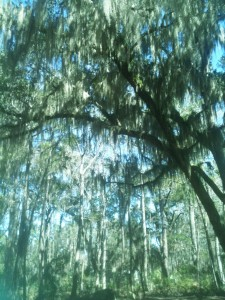 I promise this is my last picture of the oaks and palms draped in moss. Isn't it beautiful, though!