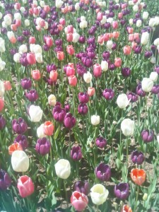 The tulips were just past their peak when we visited The Botanical Gardens.