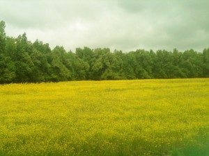 My first impression of Kentucky was a good one as we drove along this highway painted with miles and miles of bright yellow wildflowers.