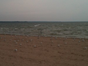 Seagulls on the windy beach before sunset.