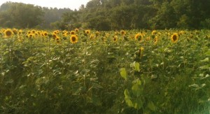 Before this photo I had never seen an entire field of sunflowers (I have since). Such a happy sight! Incidentally, they all faced east.