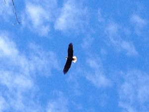 The lady at Dogwood Canyon's front desk told us we might see some bald eagles.