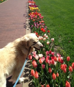 We visited Pella, Iowa on the day of our long road trip. The town was settled by immigrants from Holland. Every sidewalk in the entire town is lined with tulips... which happened to be in full bloom at the time we were there. Cessna also thought they were spectacular.
