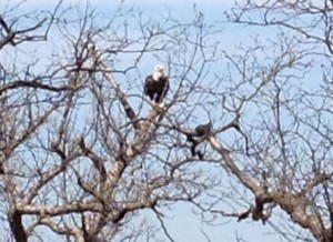 We spotted a bald eagle on one of our walks at Lake Shawnee. He had just caught himself a big fish, and had settled in the tree to finish his fresh lunch.