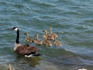 All the baby geese are getting bigger as spring turns into summer.