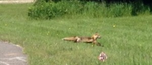 We saw a fox on one of our walks!