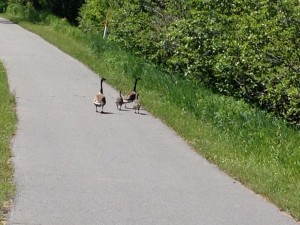 A nice family of geese strolling along the bike path on a sunny afternoon.