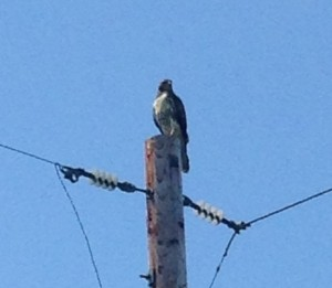 This hawk and I has a time consuming stare-down. All he wanted was to hunt for rodents in the field under this utility pole. All I wanted his to do was fly away so I could get a photo of him in flight. After 10 minutes, I gave up. He was very patient.