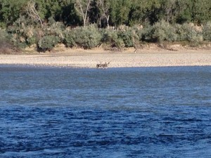 Some mule deer watching Mike fish from across the Yellowstone River.
