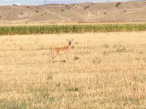 A deer watching Mike hunt for dove.