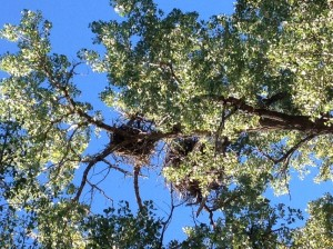 There are two eagles that are long-time residents of Miles City. George and Martha built a big nest in one of the cottonwood trees in a city park near our campground. They grew out of that original nest and recently constructed a newer model in the same tree. They do leave for a couple of months each year, but they always return to raise their eaglets. They even have their own 24/7 eagle cam. The live feed runs when they are in town. Here is the link: http://53431558b81c6.click2stream.com