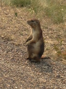 Did you know prairie dogs live in towns? I did not.