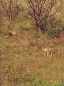 Two mule deer on the side of a mountain. The photo is grainy again because of the zoom factor.