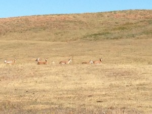 Antelope posing for the tourist cameras in Custer State Park.