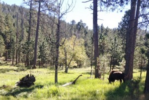 A lone bison grazing in Custer State Park.