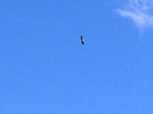 An eagle that Mike spotted while fishing one morning.