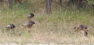 Mike and his dad spotted few turkeys on their route to the fishing lake.