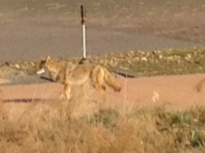 We spotted a coyote meandering through the campground as we pulled out of Cherry Creek State Park.
