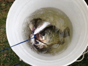 Each time Mike went fishing from this stop, his bucket looked like this when he got home.