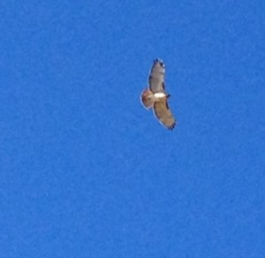 This hawk escorted us on an afternoon walk one day.