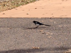 The state park was covered in Magpies. They are from the Crow family, but they are much prettier with their white, black and teal color scheme.