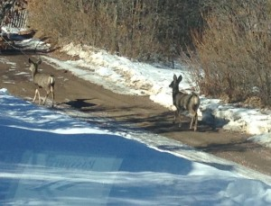 A couple of mule deer exploring the road of our campground.