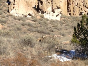 No dogs allowed on the paths at Bandelier National Monument - mainly because of the deer and other natural wildlife that hang out next to the trail.