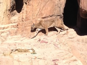 Mountain Lion at the Arizona Sonora Desert Museum