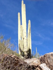 The think this Saguaro in Sabino Canyon was the largest one we saw while visiting the area.
