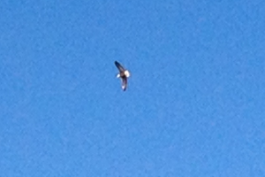 An eagle flying over the river at the state park.