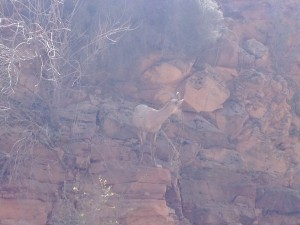 The mountain goat was monitoring traffic at the tunnel on Zion - Mt. Carmel Highway.