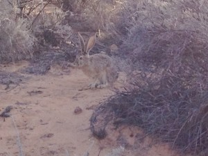 Antelope jackrabbit. Big rabbit.