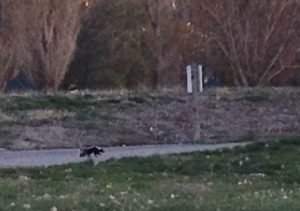 We saw this old sick skunk wobbling down the road of the campground one evening as we were sitting outside and enjoying the sunset. Poor thing was literally on his last leg. It was sad to see, but I was glad we knew he was there so we could be on the lookout when we walked the dogs after dark. That would be a bad surprise to stumble upon!