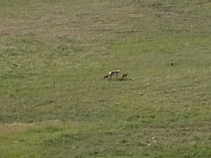 "A small group of pronghorn antelope lived on the ""hill"" across from the entrance into our campground. This mama had two babies with her. We got to see them every day!"