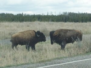 We slowed waaay down to see these two bison face off.