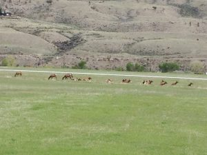 "The primary thing that Mike wanted to see during our Yellowstone tour was elk. We drove ALL DAY for MANY miles, and what do you think we found about 4 miles from our campground as we returned home in the evening? A heard of elk in our ""back yard"". Could have saved lots of gas!"