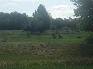 A flock of wild turkey.
