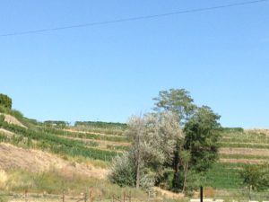 Grape vines across the street from our picnic in Frenchtown.