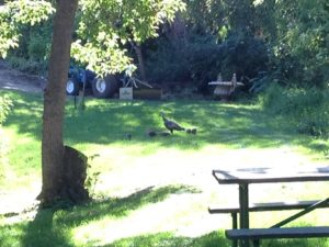 The RV Resort was adjacent to a city park and a wildlife refuge area. This momma turkey and her babies spent most of their time up near the campers instead of in the actual wildlife flora. I guess they were urban turkeys.