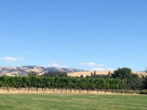 A W2 vineyard with the Blue Mountains in the far distance.