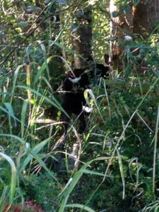 "Mike went looking for the moose and tracked her down a trail until they were about 10-feet apart. Its hard to see, but her butt is in the foreground and her ears are at about ""1:00"" in the photo. Since she had two calves with her, he suspected it was time to back off and leave the cow alone."