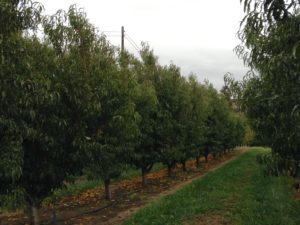 Peach trees from www.gunkelorchards.com