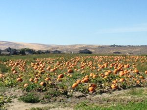 There was a giant pumpkin patch behind our campground.